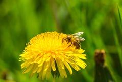 Polen de la cosecha de la abeja de la flor del diente de león Imagenes de archivo