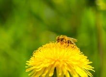 Polen de la cosecha de la abeja de la flor del diente de león Fotos de archivo