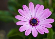 Polen de la flor Imagenes de archivo