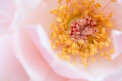 Polen de la flor color de rosa Fotos de archivo libres de regalías