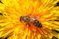 Polen de la selección de la abeja en el diente de león amarillo Imagenes de archivo