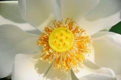 Polen de Lotus Foto de archivo libre de regalías