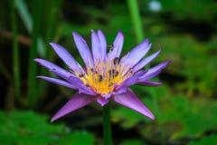 Polen de Lotus con la abeja Fotografía de archivo