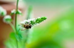 Polen del frunce de la abeja en la flor blanca de la menta Foto de archivo libre de regalías