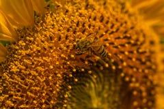 Polen del girasol en el lío de la abeja Imagenes de archivo