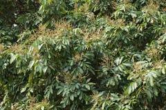 Polen del mango Foto de archivo libre de regalías