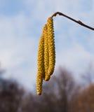 Polen en las flores del avellano Foto de archivo libre de regalías