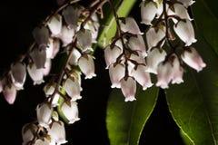 Pequeñas flores acampanadas con las hojas verdes en un bosque oscuro Fotos de archivo libres de regalías