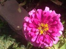 Polen estrellado de la flor rosada del Zinnia Fotografía de archivo