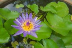 Polen púrpura hermoso del amarillo del loto del primer Fotografía de archivo libre de regalías