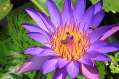 Polen púrpura hermoso del lirio de agua del primer con la abeja Foto de archivo