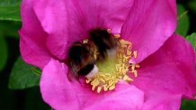 Polen que recolecta abejorros de la tierra en Rugosa Rose almacen de video