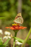 Polen que socava de la mariposa hermosa de una flor a través de su tronco Imagen de archivo