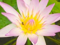 Polen rosado del loto Foto de archivo