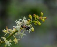 Polen y abeja Imagen de archivo libre de regalías