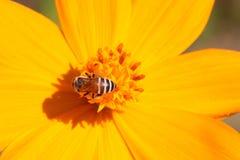 Polen y abeja amarillos de la flor Fotos de archivo