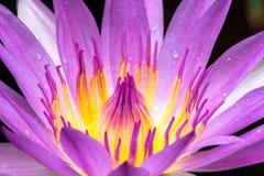 Polen y pétalos de las flores de loto rosadas imagenes de archivo