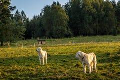 Polera den Tatra sheepdogen Fotografering för Bildbyråer