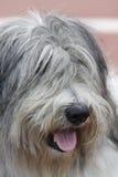 Polerad LowlandSheepdog royaltyfria foton