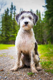 Polerad LowlandSheepdog royaltyfri bild