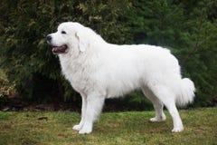 Poleruje Tatrzańskiego Sheepdog Wzorzec międzynarodowy w swój trakenie Także znać jako Podhalan Obrazy Stock