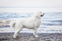 Poleruje Tatrzańskiego Sheepdog Wzorzec międzynarodowy w swój trakenie Także znać jako Podhalan Obraz Stock