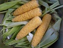 Poli del maíz Fotos de archivo