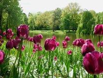 Poli merveilleux, tulipes roses en été image libre de droits