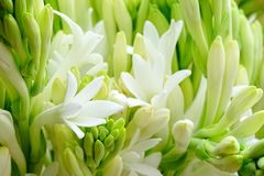 Polianthes Tuberosa Flower. Royalty Free Stock Photos