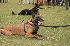 Police dog. A police dog or trained guard dog stock images