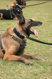 Police dog. A police dog or trained guard dog Royalty Free Stock Image