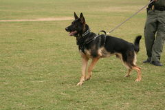 Police dog. A police dog or trained guard dog stock photography