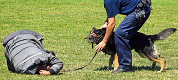 Police dog in action. At the show stock images