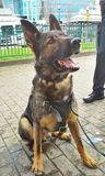 Police Dog Stock Images