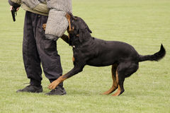 Police dog. Brown Rottweiler,  securing an offender during a training or a service Royalty Free Stock Photography