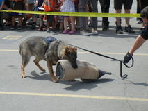 Police Dog Demonstration (3 of 3) Royalty Free Stock Photo