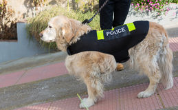 Police dog with distinctive. Golden Retriever dog with distinctive police Royalty Free Stock Photo