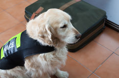 Police dog with distinctive. Golden Retriever dog next to a suitcase with drugs Stock Images