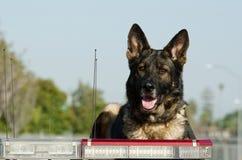 Police Dog. A German Shepherd Police dog sits on top of his patrol car looking alert royalty free stock image