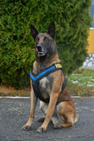 Police dog - German shepherd. German shepherd. The dog is watching the master and waiting for a command Stock Photos