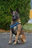 Police dog - German shepherd Stock Photos