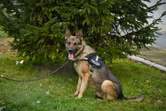 Police dog - German shepherd. German shepherd. The dog is watching the master and waiting for a command Stock Photo