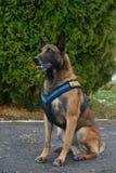 Police dog - German shepherd Royalty Free Stock Images
