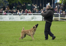 Police dog Holds criminal at bay. A Belgian shepherd Malinois from the Avon and Somerset police holds the criminal at bay during demonstration at Royal Bath and Royalty Free Stock Images