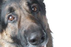 Police dog macro stock photo