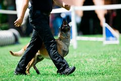 Police dog malinois walks beside police man stock photos