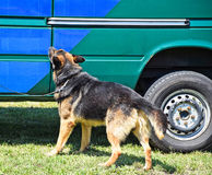 Police dog next to the suspect's vehicle Royalty Free Stock Photography