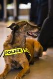 Police dog not easy life Stock Photo