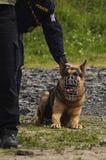 Police dog Royalty Free Stock Image
