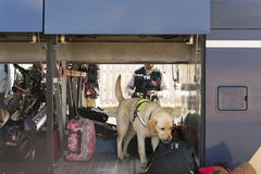 Police dog. Sniffing through luggage in a bus Stock Photos